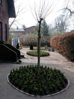 Buchsbäume als Bodendecker mit einer Kugelrobinie in der Mitte im Bauerngarten